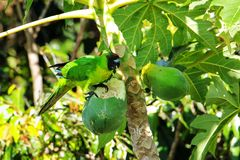 Ouvea parakiter som ?ter papayaen p? den Ouvea ?n, lojalitet?ar, Nya Kaledonien royaltyfria bilder