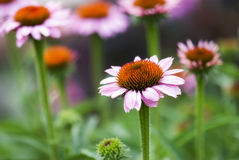 Ouverture de Coneflower photo stock