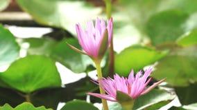 Ouverture de nénuphar, floraison de fleur de lotus banque de vidéos
