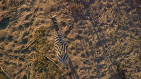 A ouviu zebras cruza o savana como visto da vista aérea imagens de stock royalty free