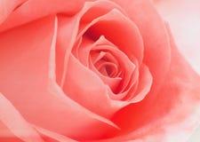 Ouvrez doucement les milieux de rose de rose Photographie stock