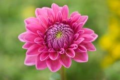 Ouvrez la fleur rose photographie stock