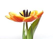 Ouvrez la tulipe Images libres de droits