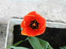 Ouvrez la tulipe Photos stock