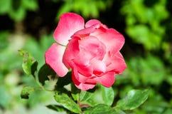 Ouvrez le bourgeon de rose de rouge Image stock