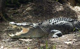Ouvrez le crocodile dit du bout des lèvres dans le sauvage Photo libre de droits