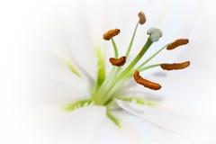Ouvrez le lis blanc (la vue proche) Photo stock