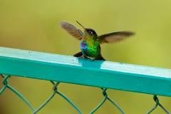 Ouvrez les ailes colibri Ardent-throated, insignis de Panterpe, oiseau de couleur se reposant sur la branche de mélèze Colibri br photos stock