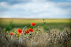 Ouvrez les champs avec le pavot commun Image libre de droits