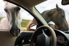 Ouvrez les chevaux de gamme pendant l'été Image libre de droits