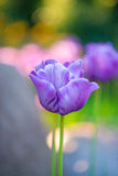 Ouvrez les tulipes pourpres image libre de droits