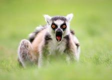 Ouvrez Ring Tailed Lemur dit du bout des lèvres Photographie stock libre de droits