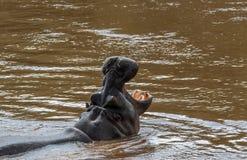 Ouvrez votre bouche Bâillement d'hippopotame photographie stock libre de droits
