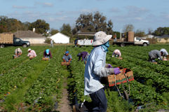 Ouvrières de récolteuse de fraise Photos libres de droits