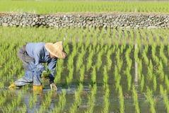 Ouvrier asiatique sur le gisement de riz non-décortiqué. Photos stock