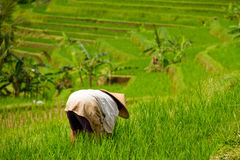 Ouvrier dans le domaine de riz de Jatiluwih, Bali Photos stock