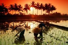 Ouvrier de gisement de riz Images stock