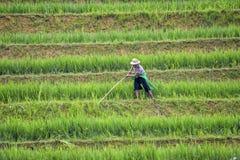 Ouvrier de gisement de riz Photographie stock