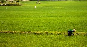 Ouvrier de gisement de riz images libres de droits