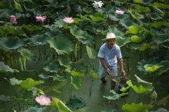 Ouvrier en Lotus Field Photographie stock libre de droits