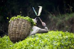 Ouvrier moissonnant des feuilles de thé image libre de droits