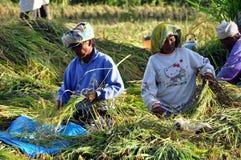 Ouvriers en riz de moisson Photographie stock libre de droits