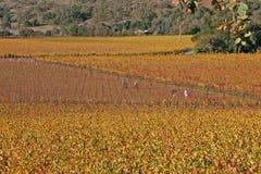 Ouvriers moissonnant des raisins de Remaing Photo stock