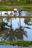 Ouvriers plantant le riz Photos stock