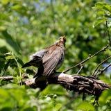 Ouzel птицы Стоковое Изображение