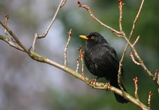 Ouzel Royalty Free Stock Images