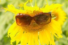 Ovårdat huvud av solrosen i fält Arkivfoton
