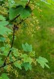 Ovaie e fiori delle bacche del ribes fotografia stock libera da diritti