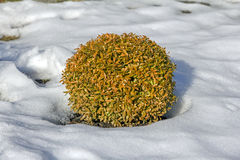 Oval decorative shrub surrounded by snow Royalty Free Stock Images