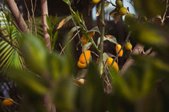Oval kumquat tree with fruits Royalty Free Stock Photo