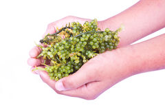 Oval sea grapes seaweed Royalty Free Stock Photo