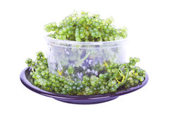Oval sea grapes seaweed Stock Images
