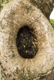 Oval shape tree hollow, tree cavity Royalty Free Stock Photo
