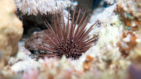 Oval Urchin royalty free stock photography