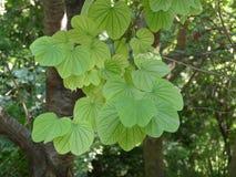 Oval verlässt auf einem Baum in den botanischen Gärten in Athen, Griechenland lizenzfreie stockfotos