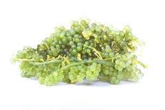 Ovale Seetraubenmeerespflanze lizenzfreie stockfotos