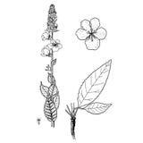 Ovalifolium de Verbascum Photo libre de droits