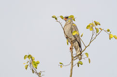 Ovambo Sparrowhawk perched on top of tree Royalty Free Stock Image
