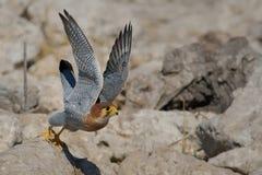 Ovambo Sparrowhawk zdejmował Zdjęcia Royalty Free