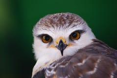 ovambosparrowhawk Royaltyfria Bilder