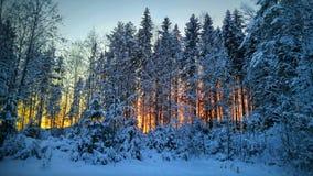 ovanför för sunsolnedgång för ljus päls röda överkanter övervintrar trees Arkivbilder
