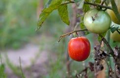 ovanför främre mogen tomatsikt Arkivbild