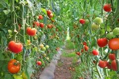 ovanför främre mogen tomatsikt arkivfoto