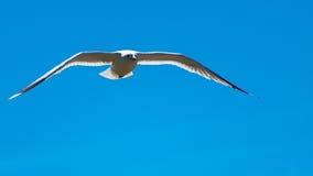 ovanför mörkt flyghav för fågel öppna seagullvingar Fotografering för Bildbyråer