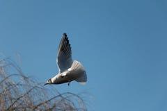 ovanför mörkt flyghav för fågel öppna seagullvingar Arkivfoto
