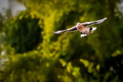 ovanför mörkt flyghav för fågel öppna seagullvingar Royaltyfri Foto